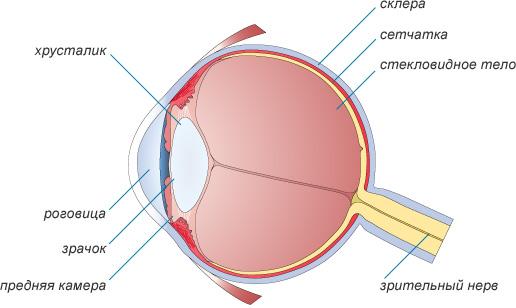Строение глаза человека для детей